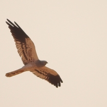 Montagu Harrier - Male