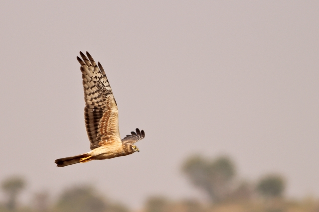 Montagu Harrier - Female