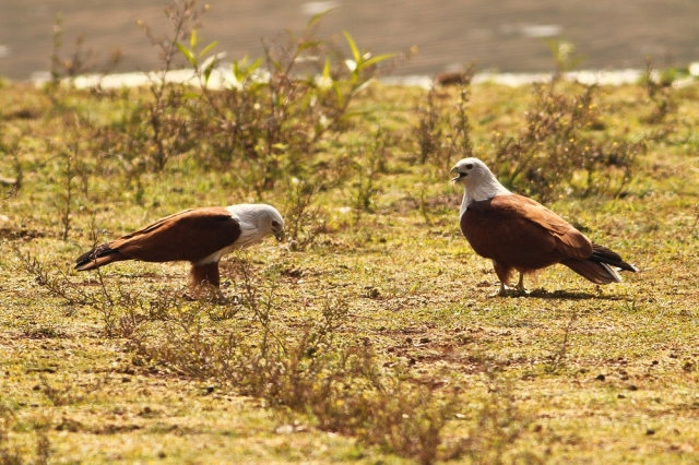 Brahminy Kites enjoying fish