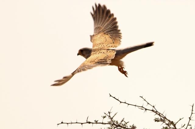Common Kestrel - Male