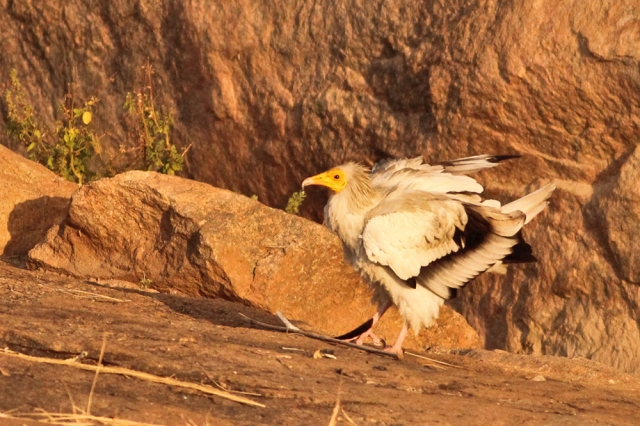 Egyptian Vulture - Flight shot