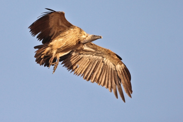 Long billed Vulture - a close look