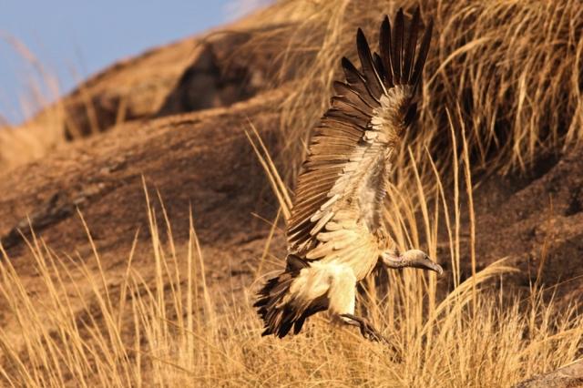 Habitat of Long billed Vulture