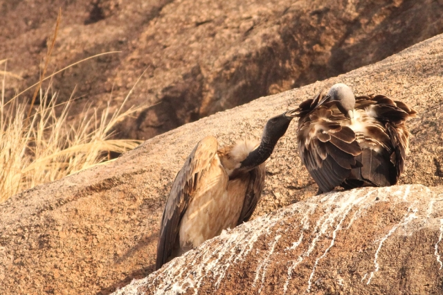 Long billed Vulture -Courtship rituals