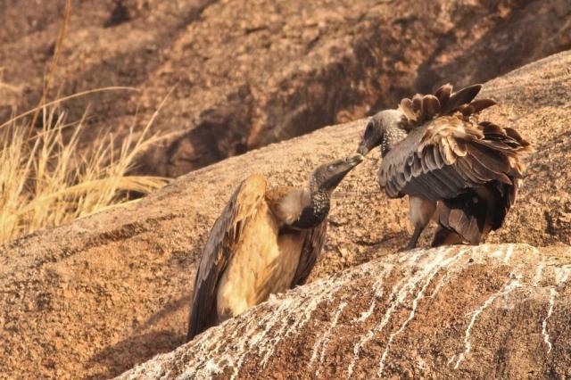 Long billed Vulture -Courtship rituals.  Eye membrane visible