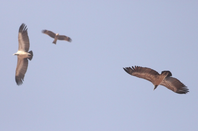 A comparative size of kite with Long billed Vulture