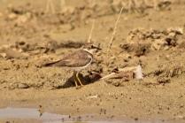 Little Sand Plover Juv