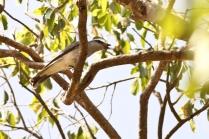 Large Cuckooshrike