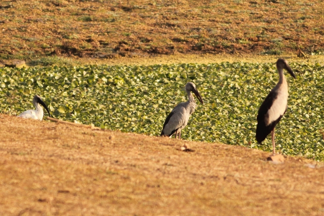 Asian Openbill + White headed stork