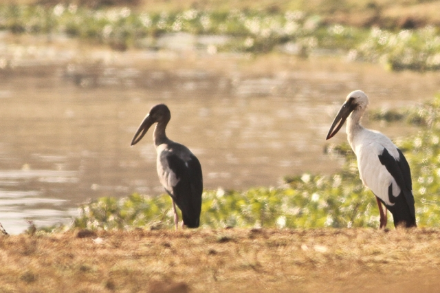 Asian Openbill - You can see the open bill