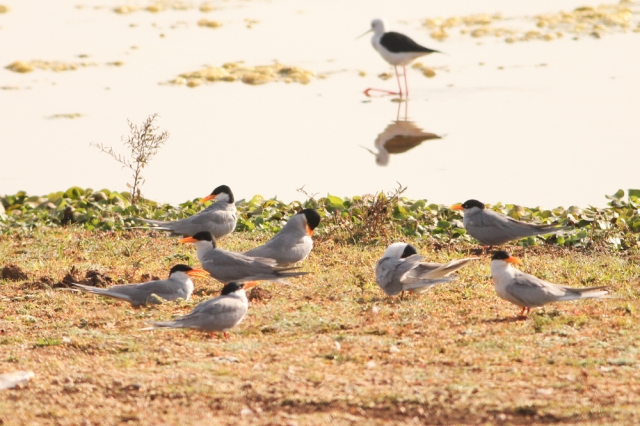Family of river terns