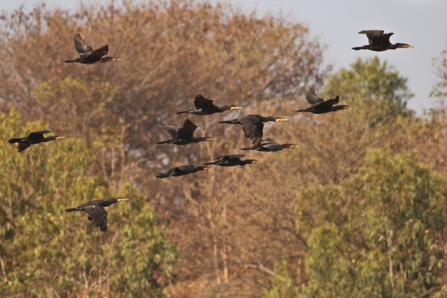 Little Cormorant in flight