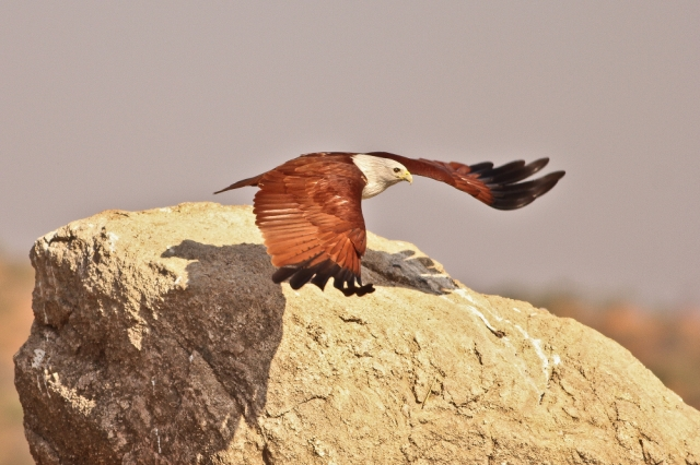 Brahminy Kite took off