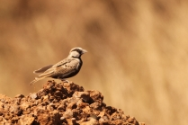 Ashy crowned SparrowLark