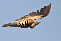 A closer look of Long billed Vulture or Indian Vulture