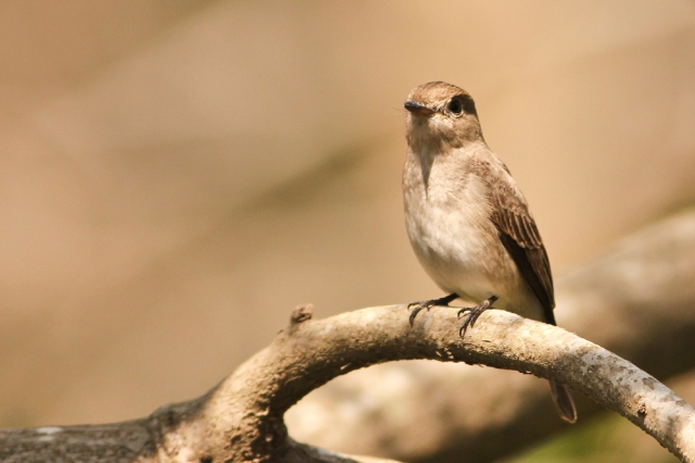 redbreastedflycatcher