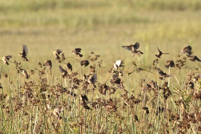 Flock of Baya Weaver
