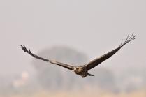 Black eared Kite
