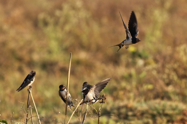 Barn Swallow Family