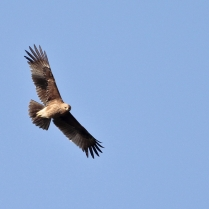 Indian Spotted Eagle - I believe