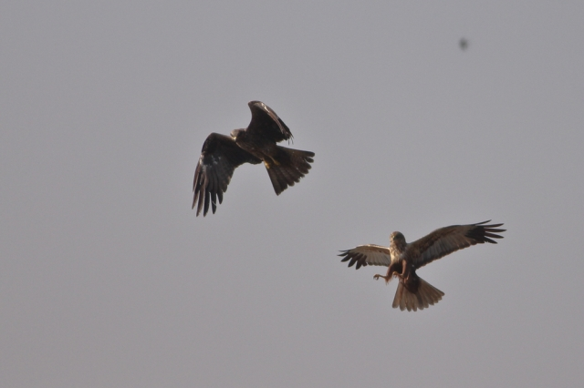 Marsh Harrier get attacked by Eagle