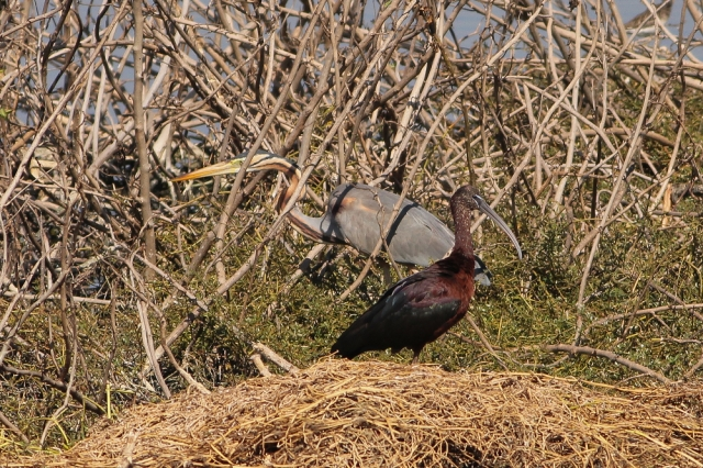 Glossy ibis with Purple Heron