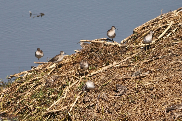 Flock of Sandpiper and Litte Stint