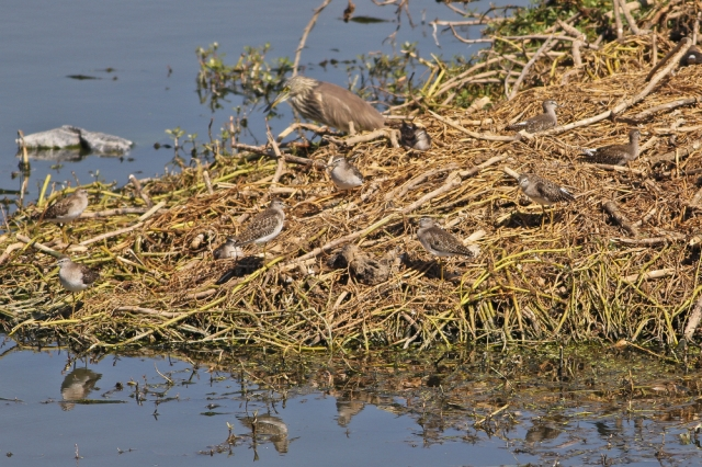 Flock of Sandpiper and Little Stint