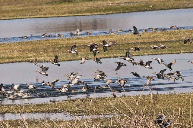 Flock of Garganey at fight