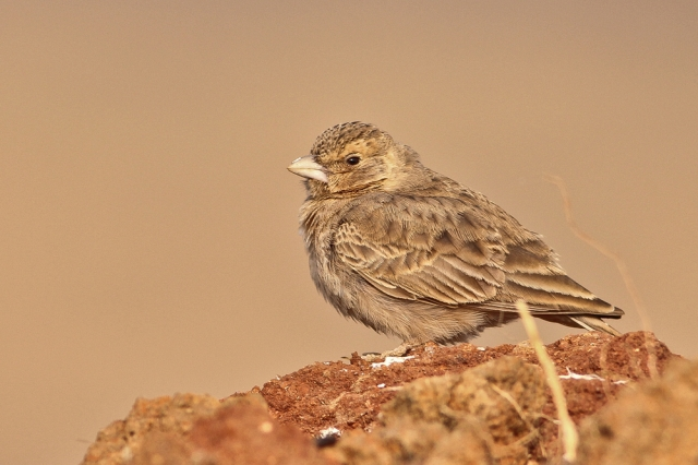 Ashy Crowned Sparrowlark - Female