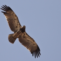 Indian Spotted Eagle - A very different morph