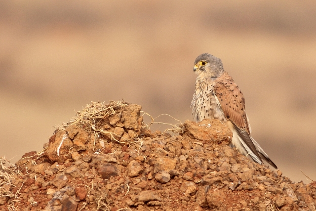 Male Kestrel with its habitat