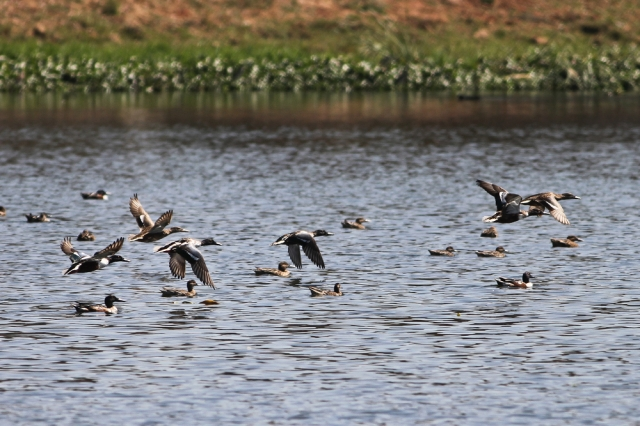 northern shoveler - Flocks at flight