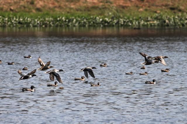 northern shoveler - Flocks at flight
