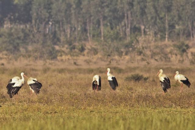 white stork - Family