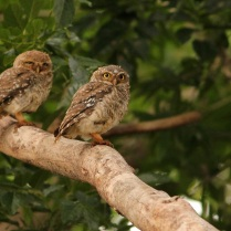 Spotted Owlet pair