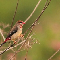 Breeding Red Munia