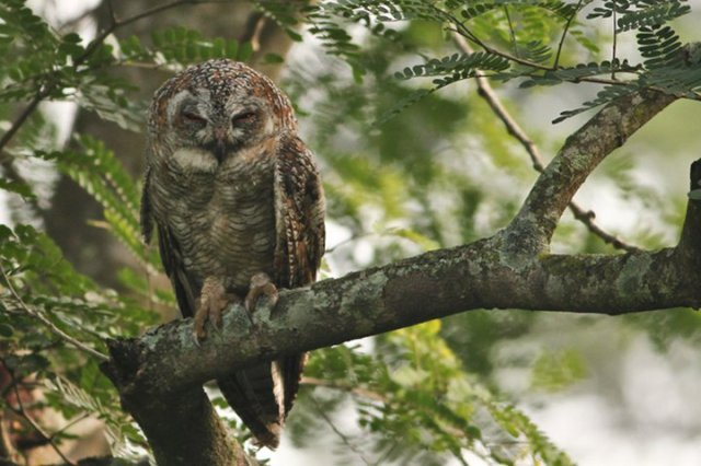 Mottled Wood Owl at Valley School
