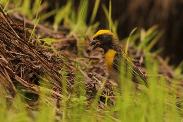 Baya Weaver male, collecting mud for his nest