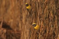 baya weaver searching insects in dry grass
