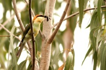 chestnut headed bee-eater, a western ghat beauty