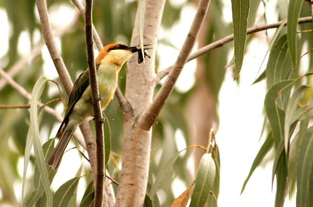 chestnut headed bee-eater, a western ghat beauty