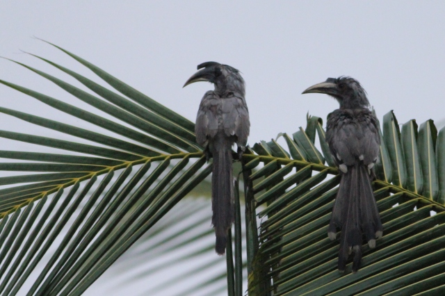 Early Misty Morning - a pair of Indian Grey Hornbill