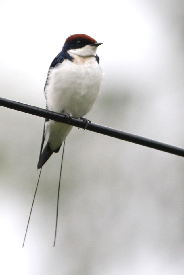 Wire Tailed Swallow - common in all swallows at Bhadra