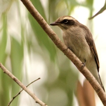 Common Woodshrike