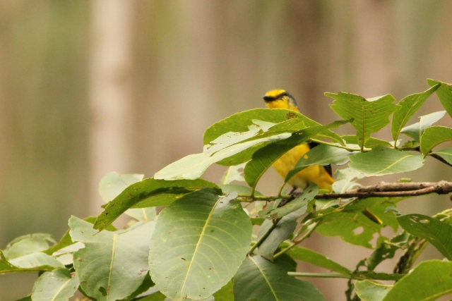 Orange Minivet - Female