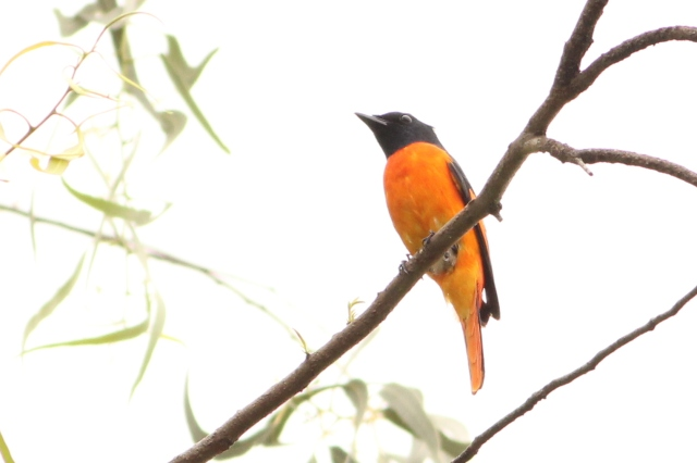 Orange Minivet