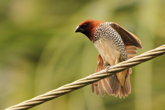 Scaly breasted Munia - at our relative home