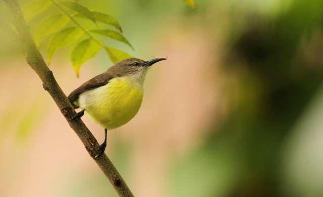 Purple Rumped Sunbird - Female