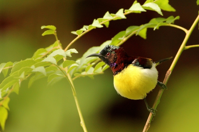 Purple Rumped Sunbird -- Male